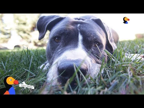 Pit Bull Adopter Can't Bring Home Just One Pittie | The Dodo Pittie Nation