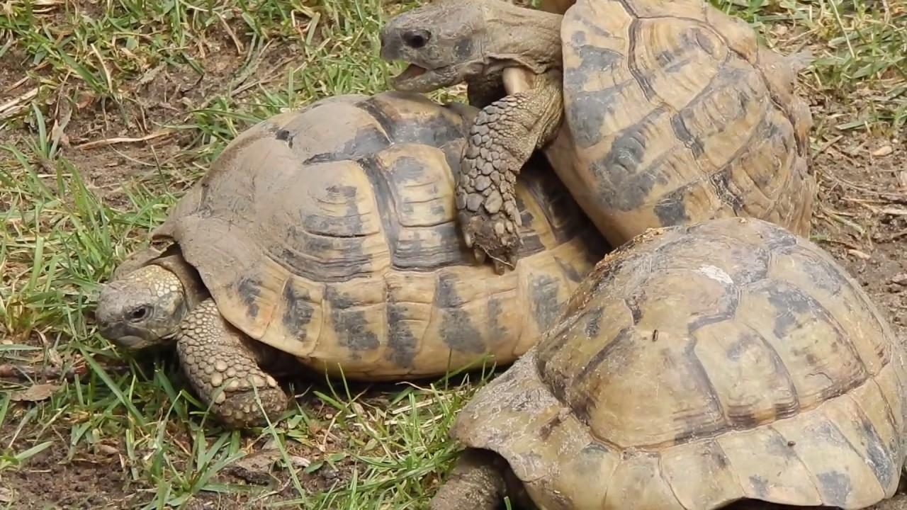 Teknősök prütykölnek