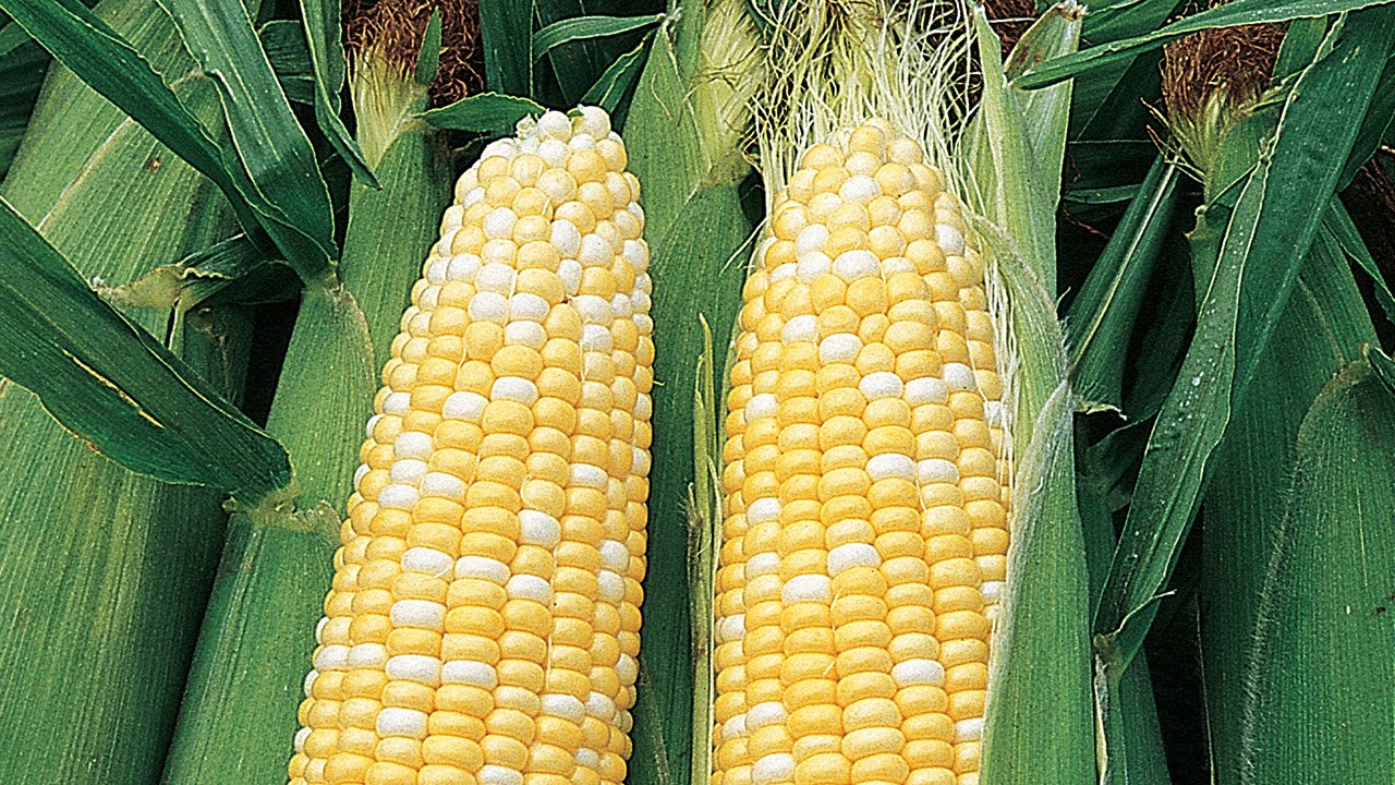 How to Direct Sow Corn in Your Garden
