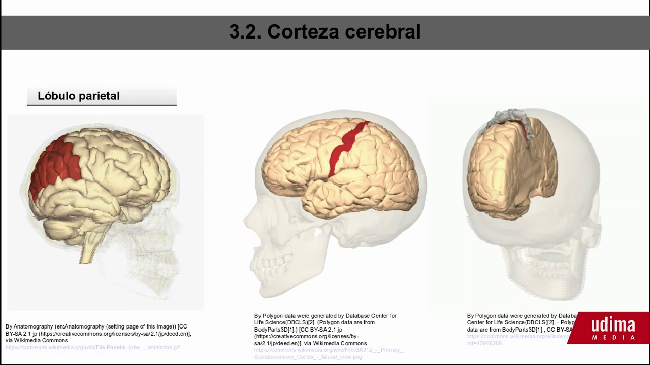 La corteza cerebral - YouTube