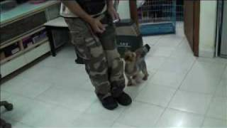 Yorkshire Terrier - Obedience Training - Protection Training