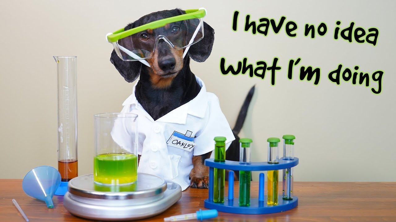 Dachshund enjoys doing chemistry experiments in his little