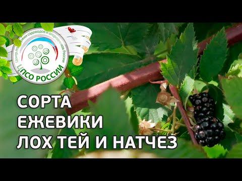 Вопрос: Ежевика Лох-Тей особенности выращивания?