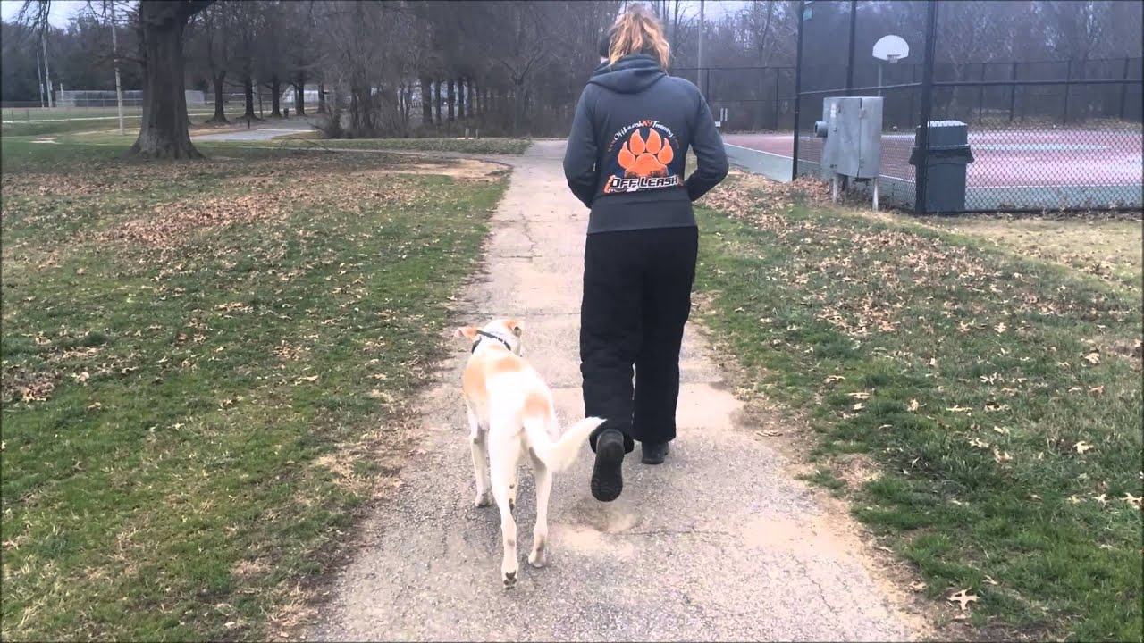 Greyhound-Mix, Olive! Check out Some Clips From Olive's Board and Train in  Northern Virginia!
