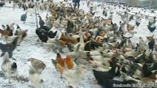 Féregtelenítő csirkék