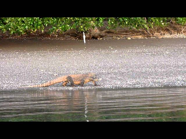 DRAGONES DE KOMODO EN PLAYA - KOMODO DRAGONS IN THE BEACH Videos De Viajes