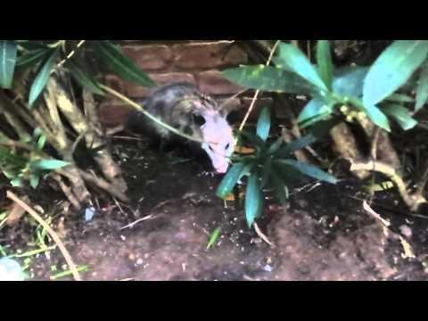 Opossum Enjoying the Complex on Christmas Morning
