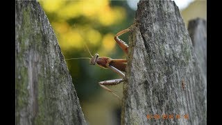 A GREEN AND BROWN PRAYING MANTIS READY TO LAY EGGS!!!