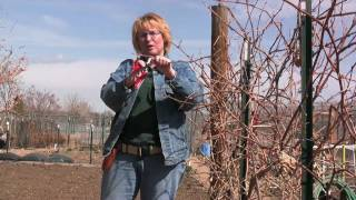 HOW TO VIDEO: PRUNING GRAPES