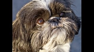 Shih Tzu Temperament Problems Solved! Free:))