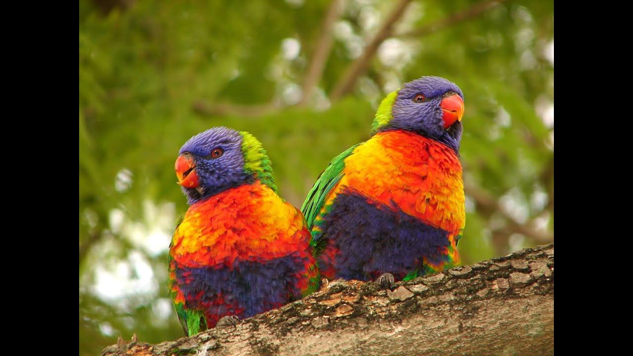 rainbow lorikeet presentation