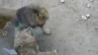 Zoo de Lisboa - briga de leões