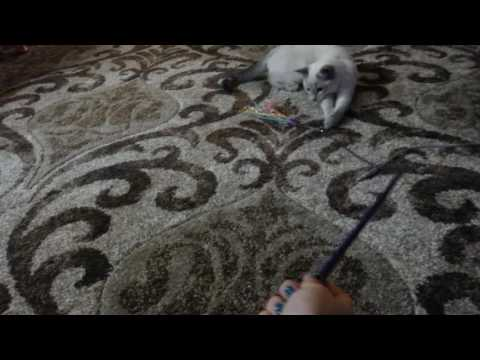 Cute siamese cat playing