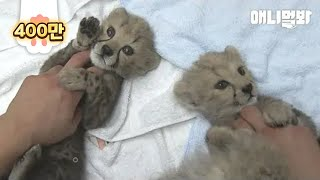 What A First-Mother Cheetah Did To Her Cubs Upon Birth Is..
