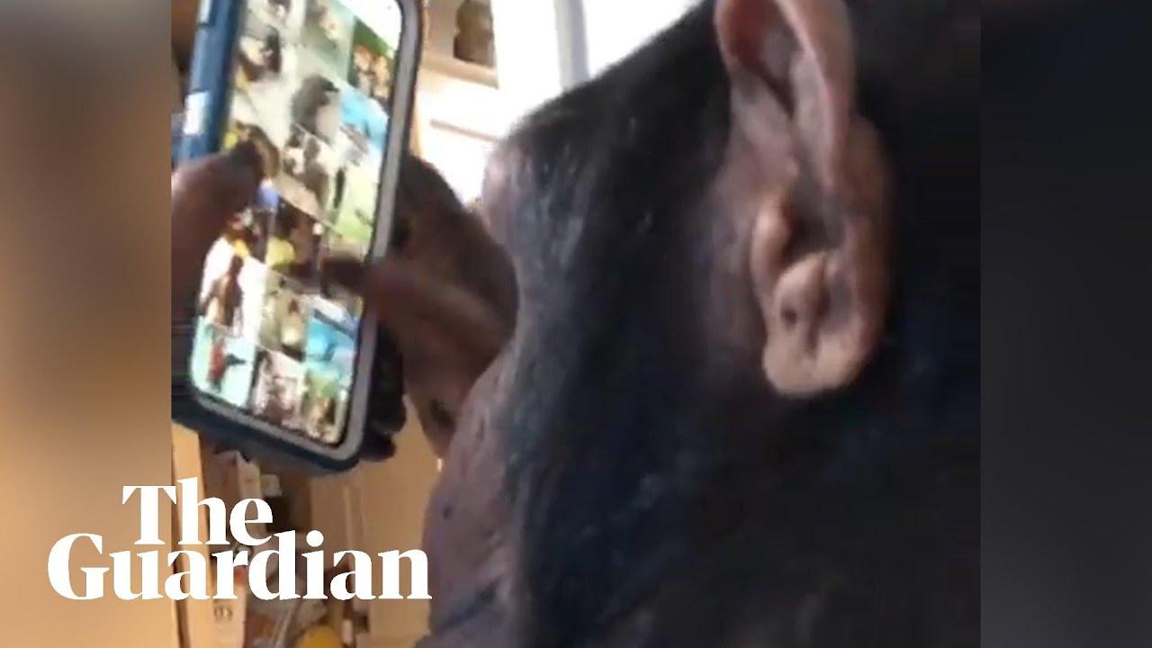 Free Ape Sex Videos chimpstagram: video of ape browsing app goes viral – what is