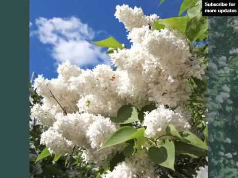 White Lilac Bush Image Collection Of Folwers Of White