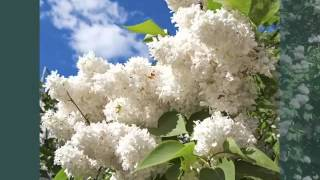 White Lilac Bush | Image Collection Of Folwers Of White Color