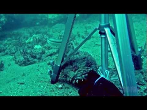 Large Toadfish Investigates Diver's Equipment