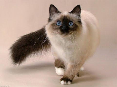 святая бирма порода кошек фото