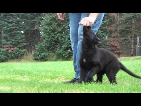 Kraftwerk K9 German Shepherd puppy foundation at 11 weeks old!