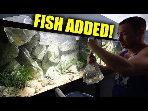 NEW FISH ADDED TO THE AQUARIUM - african cichlid fish