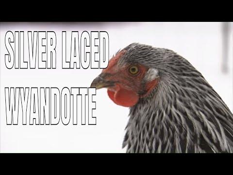 Chicken Breeds: Silver Laced Wyandotte Chickens - YouTube