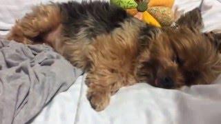Little Yorkie Dog Snoring