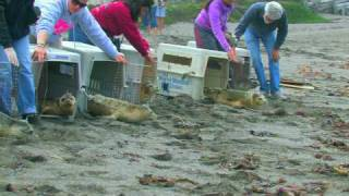Returned to the Wild: Baby Harbor Seals