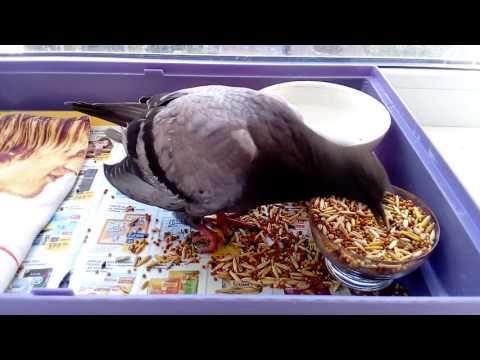 Вопрос: Будет ли раненый голубь жить в домашних условиях Почему?