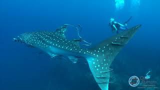 """Hannah the Whale Shark"" Koh Tao, Thailand, Sony RX100V 4K Fantasea"