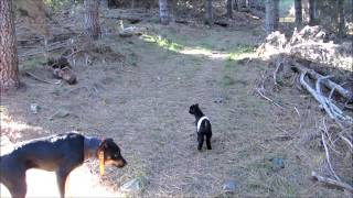 Baby goats & pigs in the wild