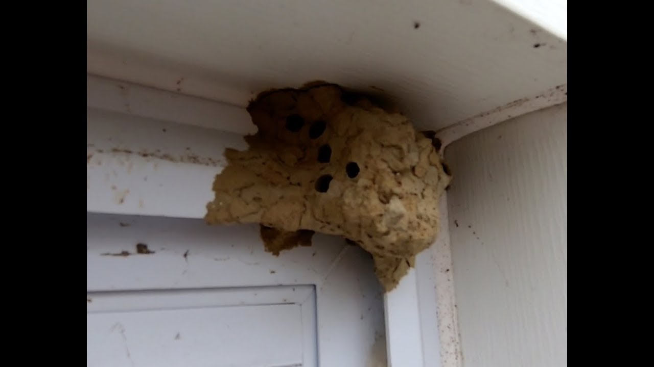 Mud Wasp Nest Removal