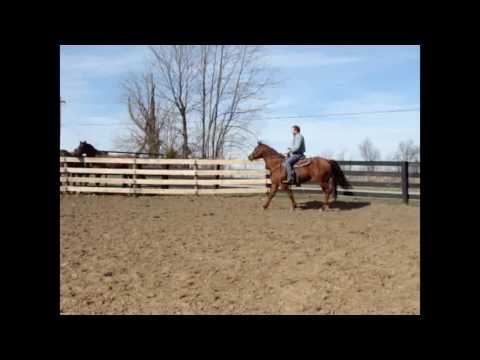 BIG THICK MADE SORREL QUARTER HORSE MARE, GENTLE