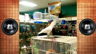 Прикол 2015 Танцующий попугай x7