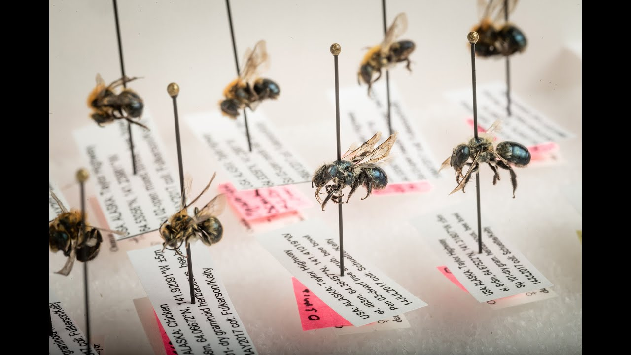 The Bee Collectors | News | University of Alaska Anchorage