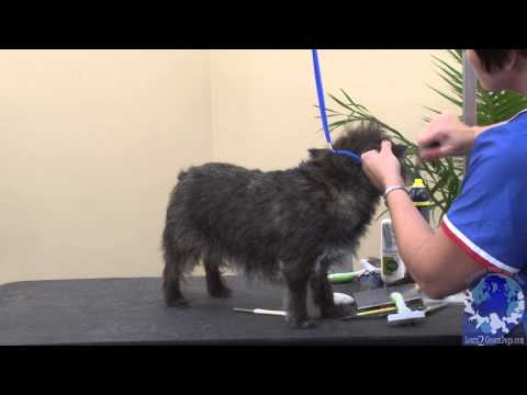 Handstripping the Cairn Terrier  Using the 50/50 Method with Michell Evans