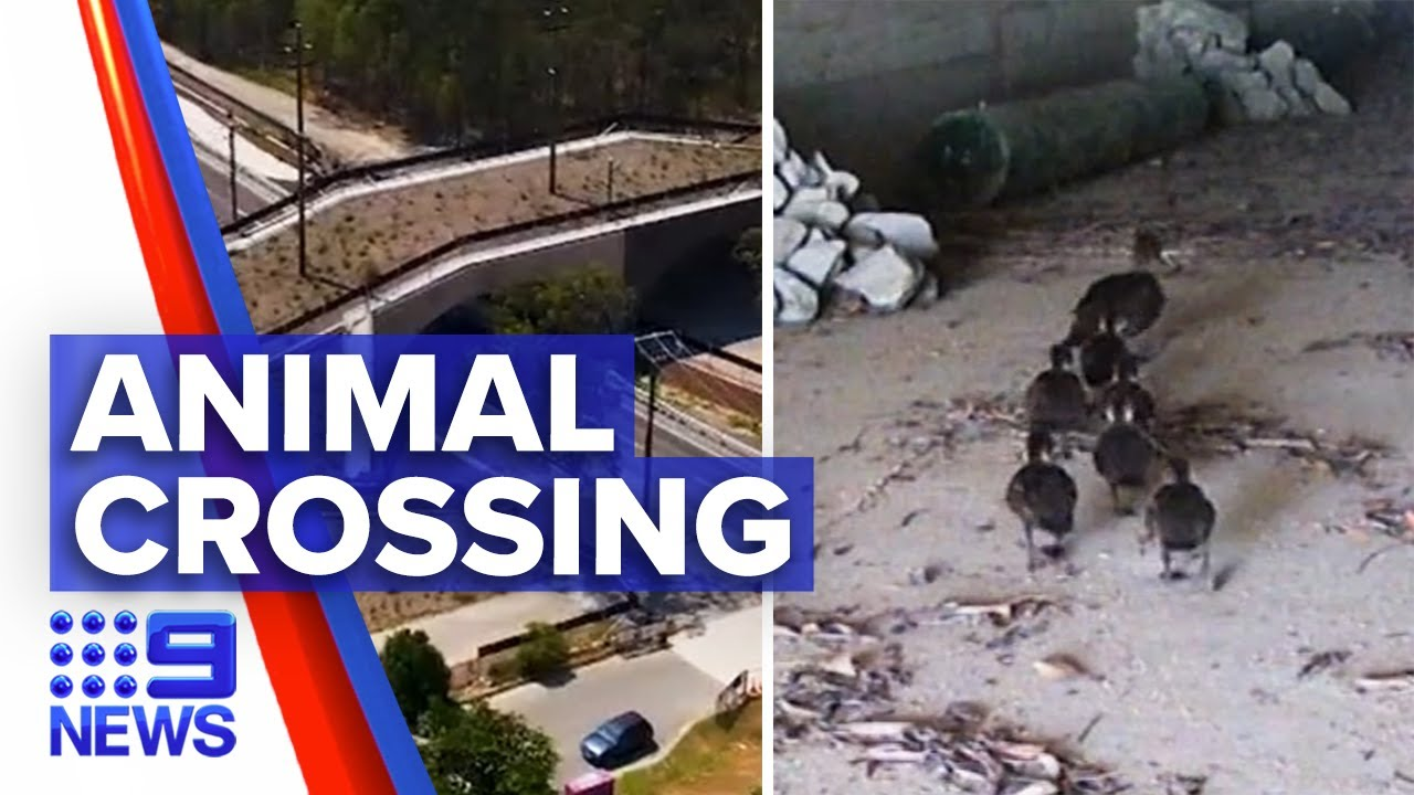 Animals captured using their own crossings | 9 News Australia