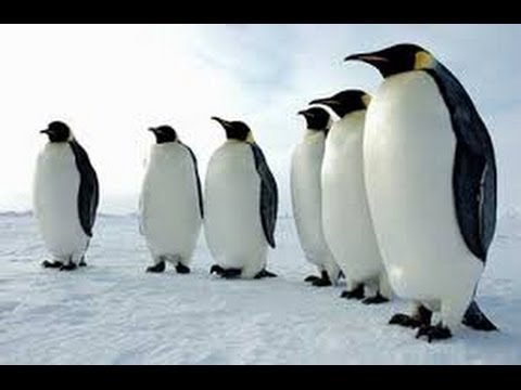 Climate Change and Emperor Penguins