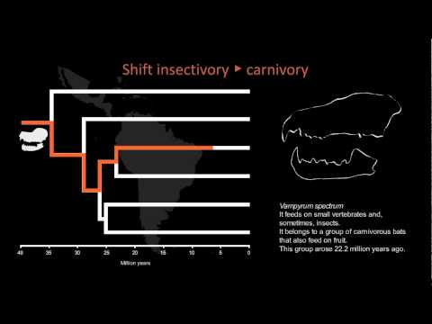 Evolution of cranial morphology in phyllostomid bats in relation to feeding habits