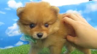 ペットショップ 犬の家 尼崎店 「84296:ポメラニアン」