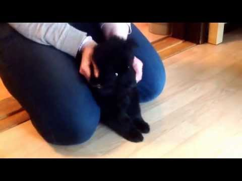 Jax, The Swedish Lapphund