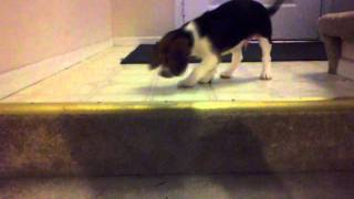 Baby Beagle (maxwell) Won't Use Stairs, Uses Rug