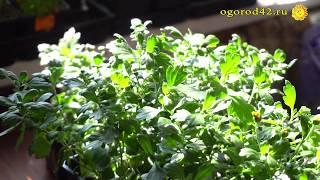 Маточник хризантемы весной