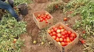 1.10 .2017.последние сборы помидоров.(, 2017-10-28T17:23:15.000Z)