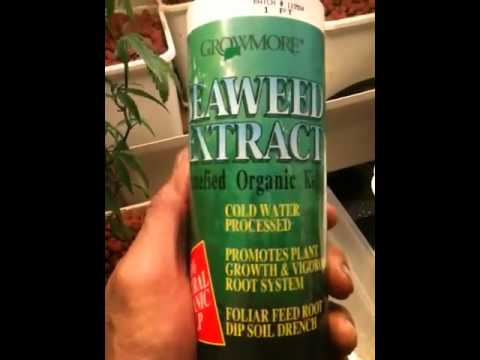 Seaweed extract for my girls