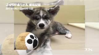 好奇心旺盛な秋田犬だワン!PUPPIES learn to play!