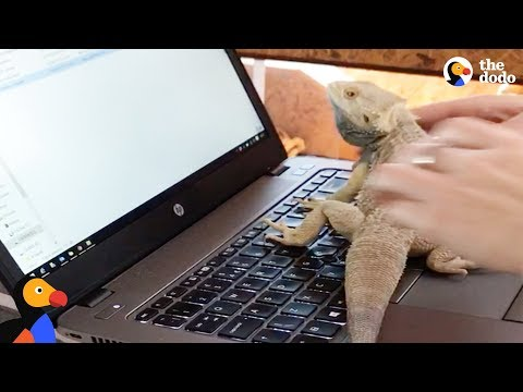 Bearded Dragon Just Wants to Help Mom With Her Work | The Dodo