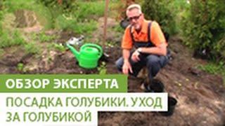 видео Посадка голубики / Агротехника выращивания голубики / ПлантЭксперт