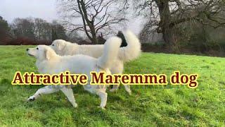 attractive Maremma sheepdog