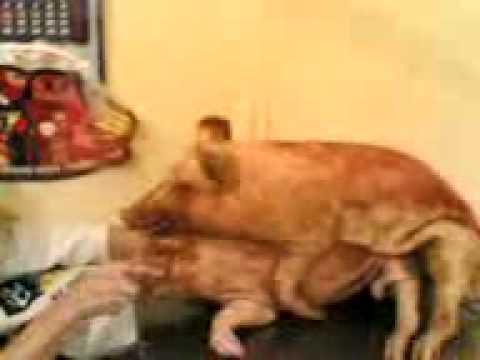 Ебля свиня видео фото 49-729